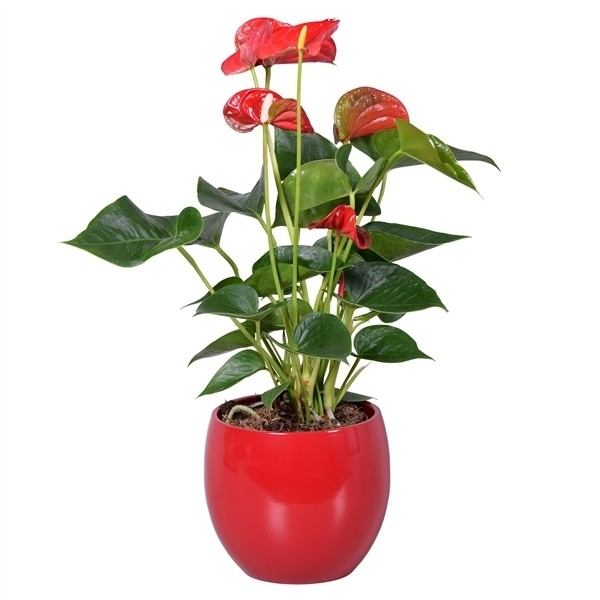 ANTHURIUM (con macetero)